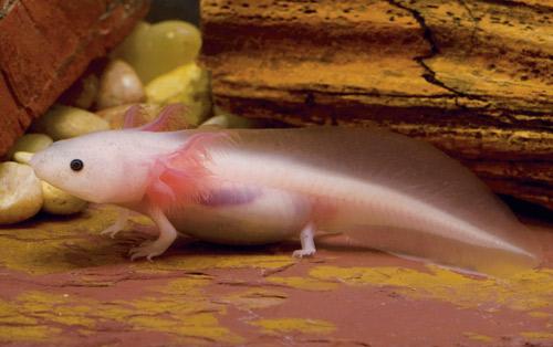 axolotl-2-500
