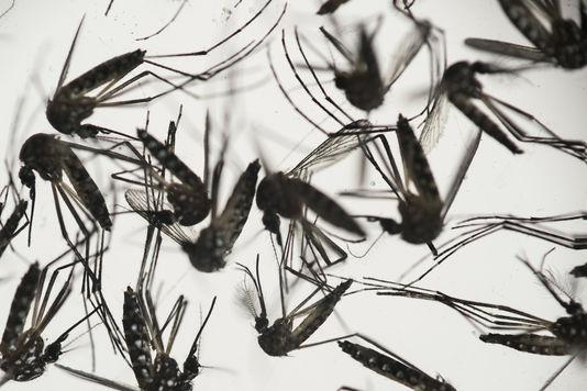 Le moustique Aedes aegypti, responsable de la transmission du virus Zika. FELIPE DANA/AP