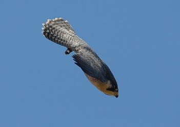 falcon-in-a-dive